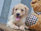 纯种 拉布拉多犬 保纯种 三针疫苗齐全 健康血统有保障
