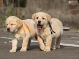 西安本地 出售拉布拉多幼犬 本地狗现货挑选 健康保障