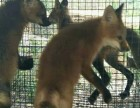 熊猫狐狸红狐咖啡狐多少钱一只
