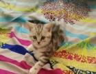 出售自家繁殖美短银虎斑幼猫