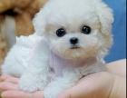 比熊犬纯种家养繁殖比熊犬出售精品家养活体宠物狗