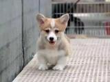 出售纯种柯基幼犬健康威尔士柯基幼犬肥臀可爱