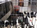 家养边境牧羊犬宝宝