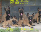 马犬价格 马犬幼犬图片 卡斯罗价格 杜高幼犬图片