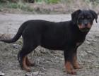 贵族罗威纳专业繁殖区 高品质幼犬待售中 三个月质保