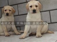 宽嘴大头版拉布拉多幼犬 深圳自家养的小拉多出售 赛级双血统