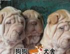 中山买纯种沙皮犬,纯种沙皮幼犬一只多少钱