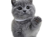 广东中山双血统美短标斑幼猫价格多少
