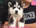 专业繁殖出售哈士奇幼犬品质保证实物拍摄纯种健康