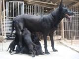 纯种黑狼 黑狼犬 品相一流 包健康 价格优惠