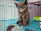 康青名犬出售北京宠物猫蓝猫多少钱保健康签协议送货上门