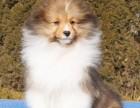 出售自家繁育的纯种健康喜乐蒂幼犬,包健康纯种养活!