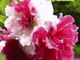观赏桃花树苗红叶碧桃树苗大树