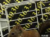养殖场生态出售各种松鼠,魔王松鼠金花松鼠