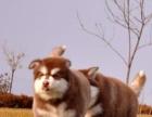可托运送货 家有纯种巨型阿拉斯加幼犬出售公母都有