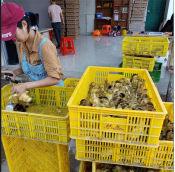 广东马岗鹅苗出售跃龙禽苗孵化出售实用的广东马岗鹅苗
