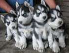 三把火蓝眼 鸳鸯眼 黑眼纯种哈士奇幼犬血统