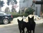 出售全黑东德小狗
