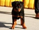 北京卓越国际名犬中心直销纯种罗威纳犬 大型正规犬舍