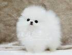 北京本地犬舍直销纯种博美幼犬哈多丽球体博美疫苗驱虫已做