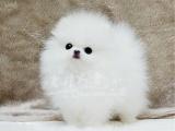 北京本地犬舍直銷純種博美幼犬哈多麗球體博美疫苗驅蟲已做