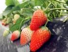 郑氏奶油草莓开摘草莓 烧烤 农家乐 钓鱼等等活动