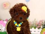 各种颜色的泰迪犬出售 欢迎上门选购