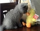 三个月的小蓝猫因家庭原因不养了找新主人