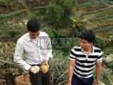 生活服务农家乐带你上山摘中山正宗神湾菠萝