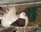眼睛球 点子 毛领 金鱼 俄罗斯 鼓手 仙女 喜鹊等观赏鸽