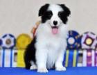 东莞本地狗场直销 纯种边牧幼犬 包健康包三个月签协议