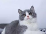 北京通州藍白小貓咪價格多少