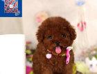 上海专业泰迪犬舍 上海精品犬舍 多只挑选 签协议颜色都有