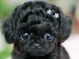 超萌茶杯泰迪犬苹果头小体型 小巧玲珑 多色可选