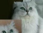 绿眼睛纯种金吉拉小母猫 可议价