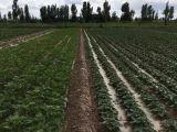 酒泉種子公司批發優質油葵種子