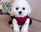 哪里出售泰迪犬 纯种泰迪犬多少钱