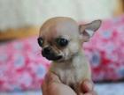 狗场里的吉娃娃能不能养活 价格贵不贵