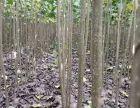 周口精品楊樹苗 107楊樹苗 種條段供應