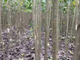 周口精品杨树苗 107杨树苗 种条段供应