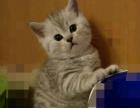 可爱英短虎斑猫囡囡