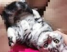 cfa双血统美国短毛猫 保健康 幼猫 公猫 弟弟