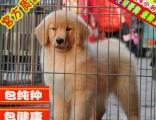 高品质双血统金毛幼犬出售纯种健康疫苗驱虫做完