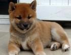 北京哪有卖柴犬幼犬的 纯种日系柴犬 北京小柴犬多少钱一只