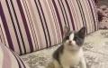 常德本地美猫屋英短/美短/布偶/折耳/加菲对外出售