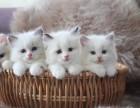 纯种布偶猫幼体活物猫咪宠物重点色手套蓝海双枫叶开脸