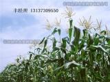 玉米种子零售批发高产玉米种