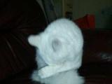 鸳鸯眼粘人母猫转让