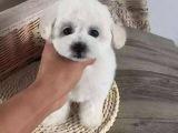 宠物店里的泰迪犬可以买吗 健不健康