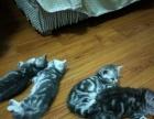 自家繁殖美短虎斑猫出售